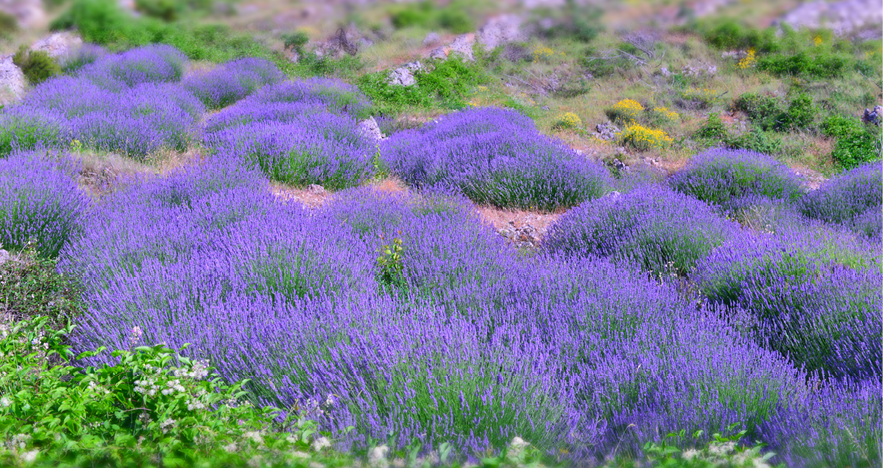 Blog-Thumbnail-Agent-Review-Croatia-with-Lilly-Gajic-Hvar-Lavender-Fields.png