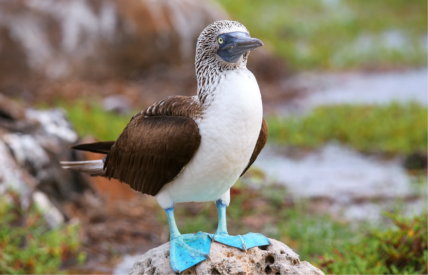 Blog Thumbnail - blue footed booby