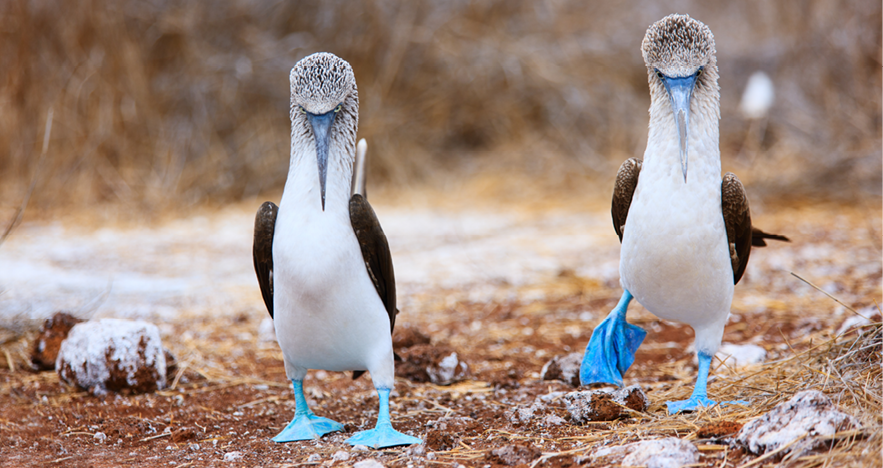 Blog Thumbnail - Blue Footed Booby mating Dance