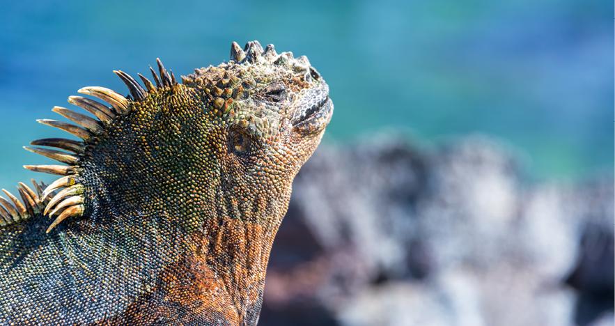 Blog Thumbnail - Iguanas