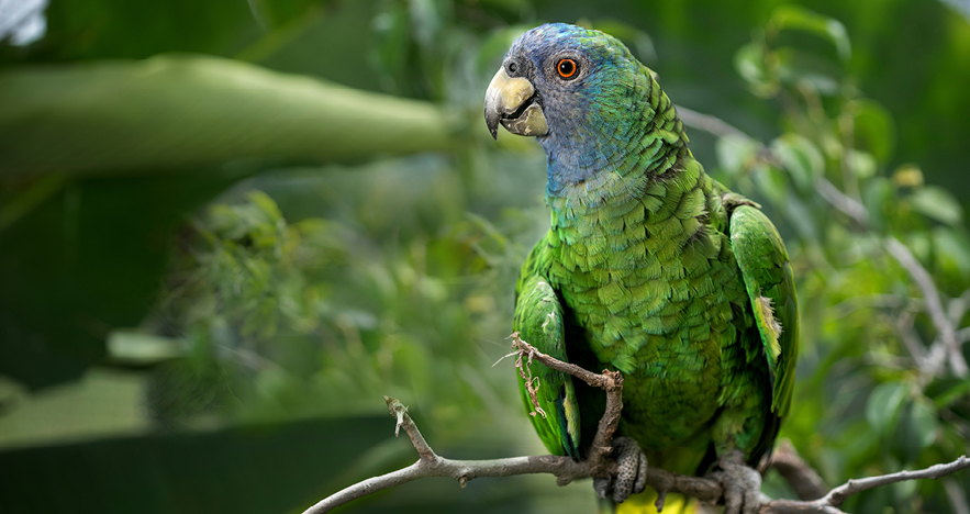 Jaco Parrot Native to Dominica