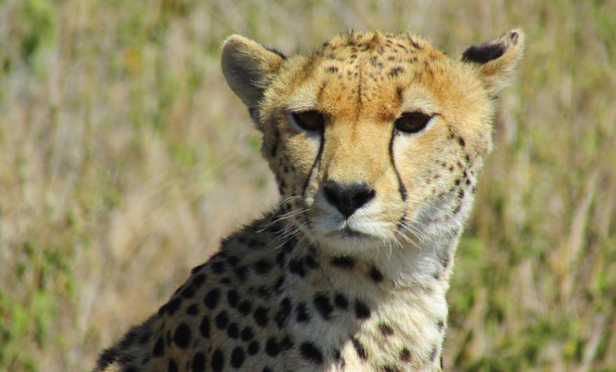 Africa Safari - Cheetah up Close