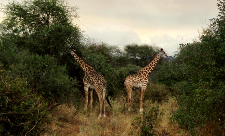 Giraffes seen on an African Safari
