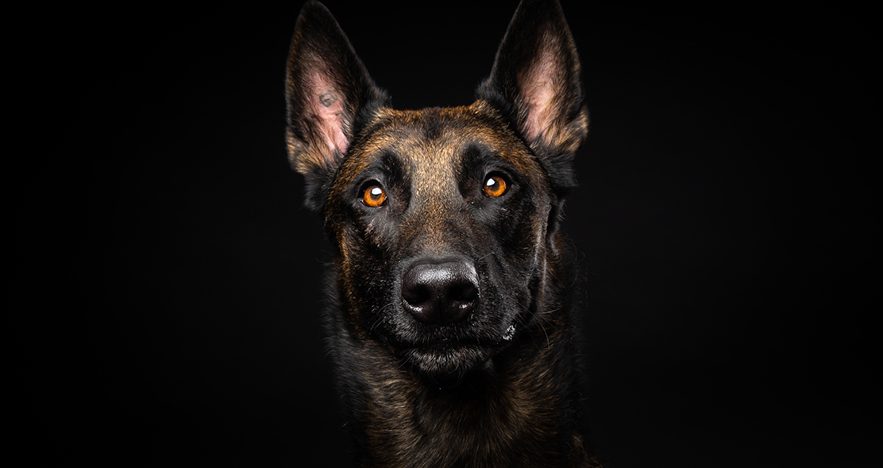 Belgian Malinois dog breed to trial the use of dogs to detect COVID-19